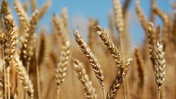 تونس تشتري هذه الكمية من القمح وعلف الشعير بهذه الأسعار!