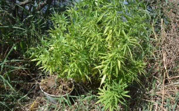 جندوبة / حجز 17 غراما من مخدر الكوكايين و 40 نبتة من الماريخوانا مزروعة في منزل