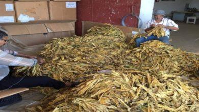 Photo of الوكالة الوطنية للتبغ والوقيد تنطلق فى زراعة التبغ الفرجيني